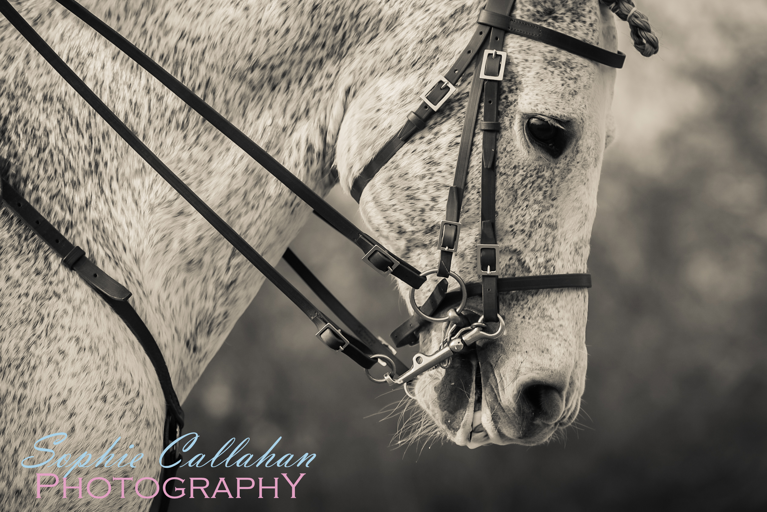 Baroque Horse, Horse of Kings, by Specialist UK Equine Portrait Photographer, Newmarket I via sophiecallahanblog.com I #equinephotography #photography #equineblogger