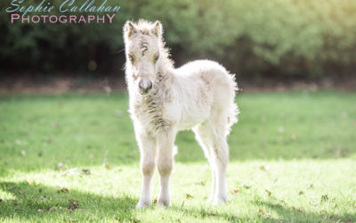 Sonic, the Miniature Foal – Equine Photoshoot, Essex